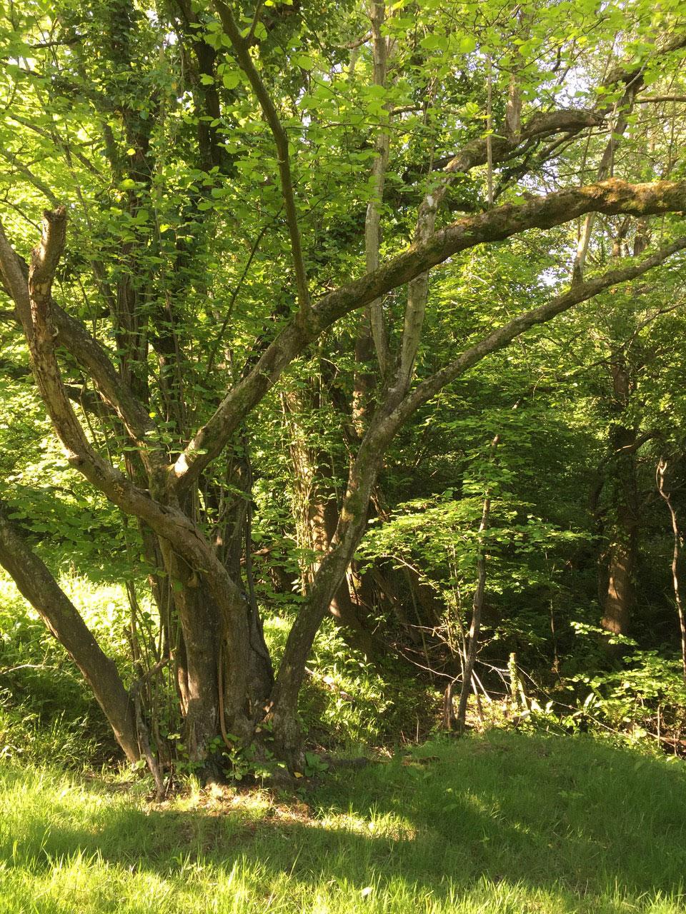 Avalon Trees