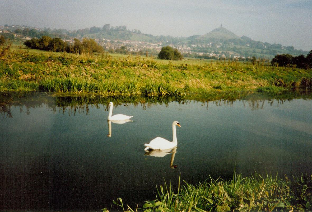 Swans on the River Brue - photo: Kathy Jones