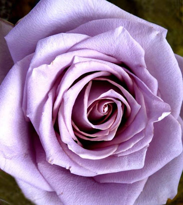 Healing Rose